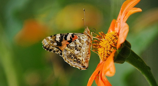 A painted lady butterfly feeds in a St. Paul, Minn., garden, Sept. 11, 2003, before migrating to warmer climate. (AP Photo/ Janet Hostetter)