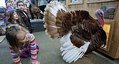 Four-year-old Amelia Meyer, Lawrence, tries to draw the attention of Tom the turkey during