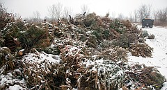 In this file photo from Feb. 8, 2010, a pile of discarded Christmas trees that the city has recycled to create a wildlife habitat sits on land northwest of the city near the Kansas river levee.