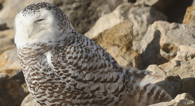 In this file photo from January 2012, a snowy owl is seen in the morning sunlight at the Clinton Lake Dam.