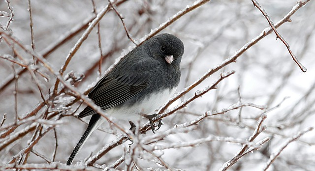 A slate-colored junco perches among icy branches in Lawrence, Kan., Tuesday, Feb. 20, 2018. The area was under an ice storm warning until 3 p.m. Tuesday. (AP Photo/Orlin Wagner)