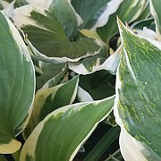 Although Hosta plants have few pest problems, the plants are susceptible to a disease known as hosta virus X (HVX), and gardeners should be on the lookout for it.