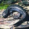 Smallmouth Salamander
