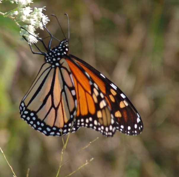 Monarch Watch Citizen Science Blog
