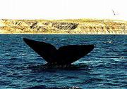The tail of a Southern right Whale rises into the air off the Valdes Peninsula, about 1,000 miles south of Buenos Aires, Argentina. Some 600 whales have gathered in protected waters of the South Atlantic to bear their calves and nurse them to size.