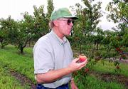 "Greg Shipe of Davenport Orchards, east of Lawrence, stops to taste a freshly picked yellow freestone peach. ""We don&squot;t make any money on peaches. I grow them because I like eating them,"" Shipe said."