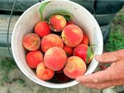 A bucket of freshly picked peaches.