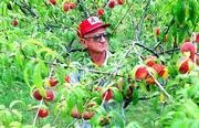 Floyd Ott of Eudora sifts though one of his peach trees laden with fruit as he searches for peaches at the peak of ripeness.
