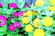 Zinnias grown from seed are an inexpensive and colorful addition to the garden.