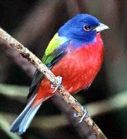 A male painted bunting displays his colorful feathers. The bird is not common in this part of the country, but some are now nesting near Clinton Lake.