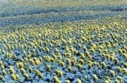 A field of sunflowers entices visitors to Ted Grinter's farm between Lawrence and Tonganoxie. Grinter allows people to explore the field and pick flowers for a dollar each. Later, when the blooms have withered and dried, he'll harvest the flowers and sell the seeds.