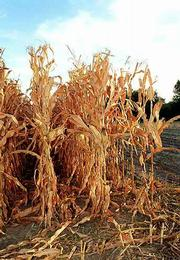 Dry conditions across the state and triple-digit temperatures have hurt fall harvest prospects and threaten the 2001 wheat crop. A North Lawrence corn crop dries up in Wednesday's 107-degree heat.