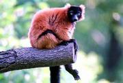 This red ruffed lemur is one of 150 animals being introduced to the public this year at the Kansas City Zoological Park in Kansas City, Mo. The animals are part of an effort to help the city celebrate its sesquicentennial. Below right is a Wompoo fruit drove.