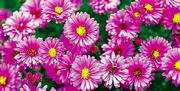 Fall-blooming asters produce daisy-like flowers with yellow centers in a variety of colors including purple, blue, pink and white.