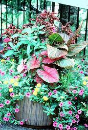 Some broad-leaf bulbs, including these red-veined caladiums and the striped canna lilies, also need protection from winter elements.