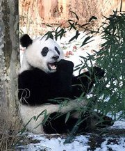 Giant Panda Mei Xiang eats bamboo during the visit of President Clinton to the National Zoo giant panda exhibit Saturday, Jan. 6, 2001, in Washington. The giant panda exhibit opens Wednesday, Jan. 10.