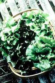 Blush Batavian lettuce
