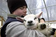 Francis Faillace, 16, of East Warren, Vt., hugs a 2-week-old lamb on his family's farm. The Faillace family and supporters were deeply concerned about the outcome of their 126 head of sheep since hearing reports of the USDA seizing Houghton Freeman's Greensboro, Vt., flock on Wednesday.