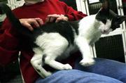 Billy, a domestic short-haired cat, gets a massage from Milda Darzinskis of Last Hope Animal Rescue in Huntington, N.Y.
