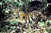 A tiger is shown in the Balahala forest in Thailand in this March 1998 file photo. A leading group of experts foresees a dramatic increase in the number of tigers over the next century, perhaps 20 times more than at present.