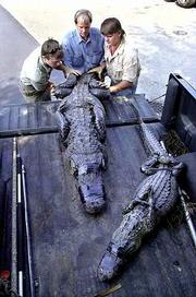 As alligators increase in numbers and humans encroach more and more into their environments, alligator attacks are increasing in Florida. Last February, employees of a nuisance wildlife control company, from left, Nick Wasilewski, Todd Hardwick and Joey Cady, lifted two alligators into a truck for removal from a Miami neighborhood.
