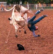 Frosty, a bucking bull, loses William Looney, 15, after a five-second ride in the Hebb Rodeo junior bull-riding competition at the Longton Fairgrounds. Cowboys joke that men ride bulls just to meet pretty nurses.