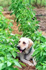 Roscoe is a faithful companion while Mellinger works in her 3,500-square-foot garden south of Clinton Lake.