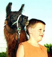 "Matt Merritt, 11, enjoys caring for his friend ""My Eye Shadow,"" a year-old llama, at his parents&squot; llama farm in Lecompton. Matt and his brother, Ethan, 9, will be showing their llamas Wednesday at the Douglas County Free Fair&squot;s first llama show."