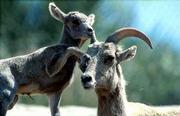 A male lamb and his mother play at the San Diego Zoo. The lamb is one of two desert bighorn sheep born at the world-famous zoo.