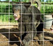 Yogi, a 4-year-old black bear who lives at a private residence near Tonganoxie, bit Pete Cale of Lawrence after he reached in the cage to pet her. Cale was transported Sunday to Kansas University Medical Center, where he was treated and released. A woman was bitten by a lion a week ago at the same residence.