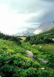 The lush growth around Glacier National Park's Logan Pass provides a feast for the eyes and food for all sorts of wildlife.