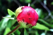 Peonies are sometimes heavily infested with ants, which are attracted by the sugars exuded by the flower buds. Though they are unsightly, the ants do not harm the peonies. The oft-repeated idea that ants are needed for peony flower development is false.