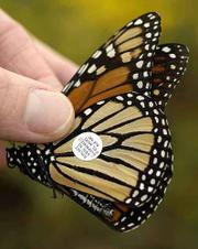 A volunteer displays a tagged butterfly Saturday at the Baker Wetlands.