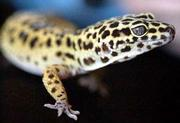 Her pet gecko Mystic is bright yellow with brown spots.