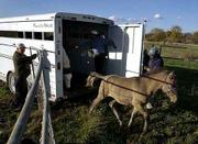 Wild Horses leave the confines of a trailer after traveling for three days from Canada to the Douglas County ranch of Betty and R.C. Pewtress. Pictured Wednesday unloading the horses are, from left, Jack Schutte of Verdon, Neb., who adopted one horse; Guy LeBlanc with Can-Am Horse Charters in Millerville, Alberta, Canada; and R. C. Pewtress.