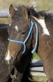 The 5-and 6-month-old Alberta Premarin foals that would otherwise go to slaughter were delivered to Douglas County for adoption. Betty and R.C. Pewtress adopted two of the 11 horses, and the other nine have found homes in the Midwest.
