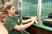 Jackie Wigington, an employee at Pet World, 711 W. 23rd St., installs new padlocks on pet cages at the store. Thursday night or early Friday, someone threw a rock through the front door and took two pug puppies worth $1,200. Store officials are concerned that the pups are in danger because of the special care they require.