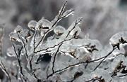 Frozen in time, a bush is covered by Tuesday night's ice storm that left most items outside encased in ice.