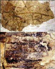 In the top image, a complete dromaeosaur fossil, dated about 128 million years old, is shown in a rock slab discovered in Liaoning Province in northeast China. Scientists say it is the first fossil of a nonflying dinosaur that had feathers with the same features as modern birds, demonstrating the evolutionary link between dinosaurs and birds. The fossil is about 3 feet long. The bottom image magnifies a single feather. A trained eye can see the feather's central shaft, or rachis, and the branching barbs that hook together feathery filaments.