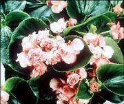 Begonia F1 Queen Pink
