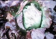 Lettuce Red Iceberg