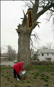 "Betty Dawson cleans a historical marker in front of the Westport Oak tree in Kansas City, Mo. The worst ice storm in the city&squot;s history tore down trees all over eastern Kansas and northwestern Missouri. The casualties included two ""Bicentennial Trees,"" designated as such in 1976 because they were believed to be at least 200 years old."