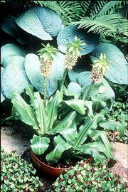 Pineapple lily which can be planted in a container.