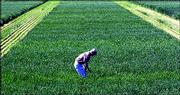 Joe Martin, a wheat breeder, inspects a test plot of white wheat at the Kansas State University Agricultural Research Center in Hays. Production of white wheat in Kansas could jump as farmers take advantage of a new $20 million incentive program as part of the new farm bill.