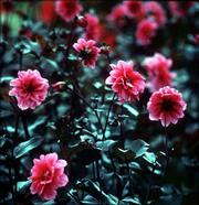 A Dahlia Fascination has red blooms and dark foliage.