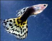 A Half Black AOC male guppy is among the fish owned by Steve Urick of Hampton, Va. Urick raises fancy fish and exhibits them at internationally sanctioned shows.