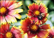 A bumble bee visits a Gaillardia (blanket flower) blossom in Klein's garden.