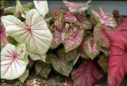 A mixed variety of caladiums provides Klein's garden with pleasing contrasts.