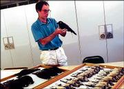 Oliver Komar, a graduate researcher in Kansas University's department of ornithology, examines crows and blue jays in the collection of KU's Museum of Natural History. Komar is among researchers keeping an eye on the spread of the West Nile Virus, which is transmitted by mosquitoes and often infects birds. The first case of West Nile infection in Kansas was confirmed Thursday.