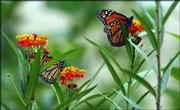 This year's population of butterflies is down, according to Marcia Henry at Henry's Plant Farm outside Stull. Although Henry's garden beds are full of flowers that attract butterflies, just a few were passing through Friday.